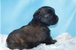 Picture of Brindle