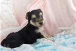 Morkie / Yorktese for sale