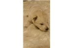 Picture of Wolf Dog Pup - Arctic / Timber Mix