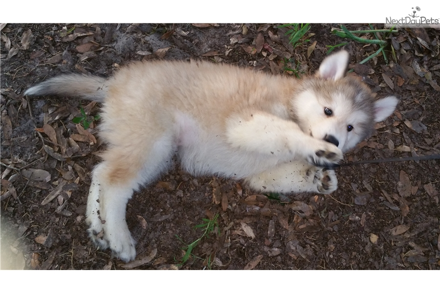 arctic timber Fun wolf facts for kids living and hunting in packs (also known as the grey wolf or timber wolf), red wolf, arctic wolf, mexican wolf and white wolf.