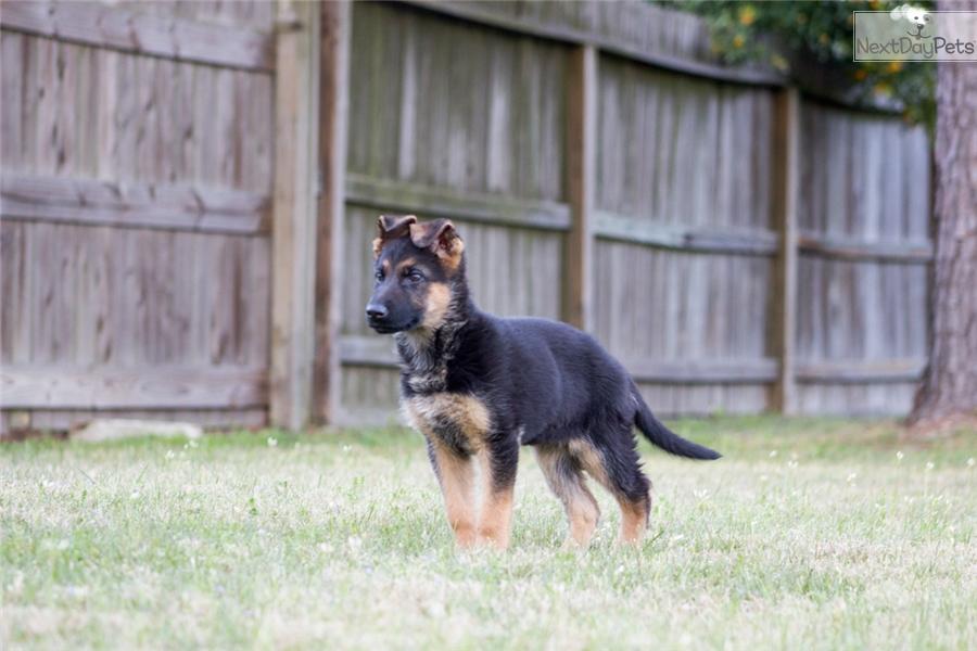German Shepherd Dogs For Sale In Houston Texas