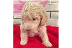 Picture of Goldendoodle - Dolly