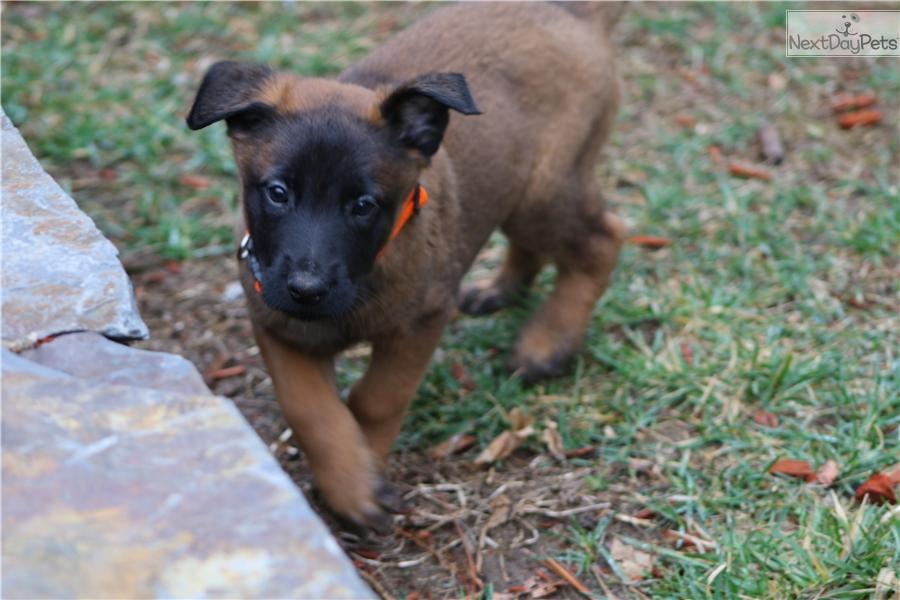 belgian malinois puppy for sale near boston  massachusetts