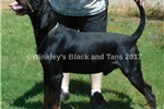 Picture of Grand Champion Sired Due in Aug Old Fashion Type