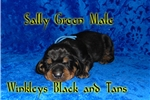Black and Tan Coonhounds for sale