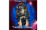 Picture of CHAMPION SIRED EURO PUP CHRISTMAS READY