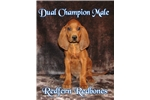 Redbone Coonhound for sale