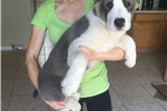 Picture of UKC Central Asian Shepherd Milo Puppy for Sale