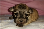 PRICED REDUCED! | Puppy at 2 weeks of age for sale