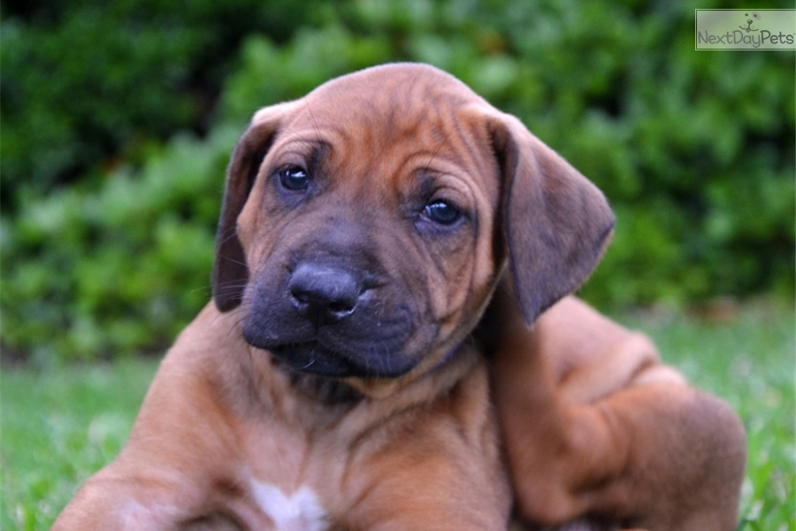 Show Me Pictures Of Ridgeback Dogs