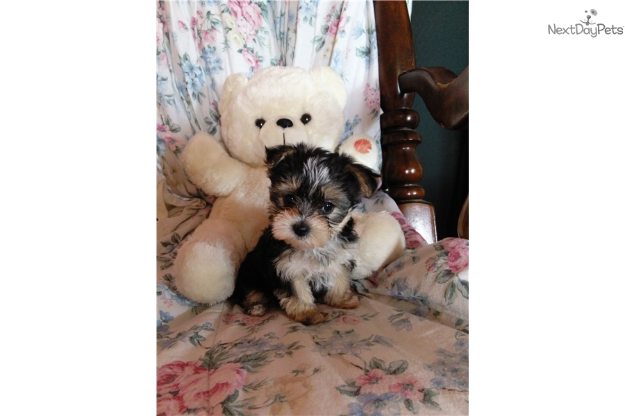 ... / Yorktese puppy for sale near Springfield, Missouri | 64c8d5ae-38f1