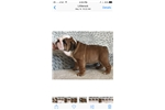 Picture of English Bulldog