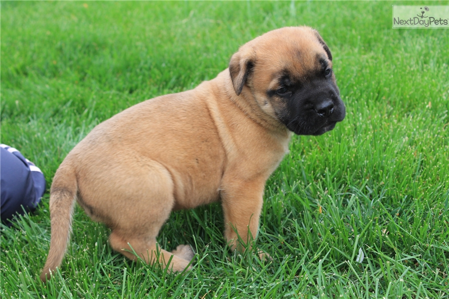 Mastiff puppy for sale near sioux city iowa cb1a67f1 1831 click for