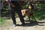 Picture of TRAINED BELGIAN MALINOIS EXECUTIVE /FAMILY PROTECT