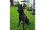 Picture of AKC BELGIAN MALINOIS .EXOTIC RARE DARK COLORS