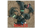 Picture of Caucasian ovcharka puppies big parents