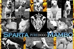 Picture of Dogo Argentino Puppies born on February 26th