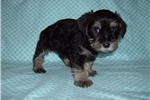 Picture of a Snorkie Puppy