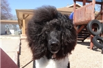 Picture of Duke of Parker T Poodles