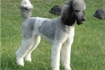 Picture of Jeanette a Parker T Poodle
