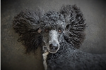 Picture of Marlo a Parker T Poodle