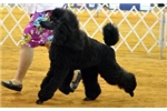 Picture of AKC Standard Poodles