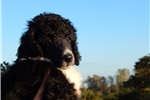 Picture of AKC Standard Poodle Parti