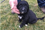 Picture of Bernedoodle Puppy (Baylee)