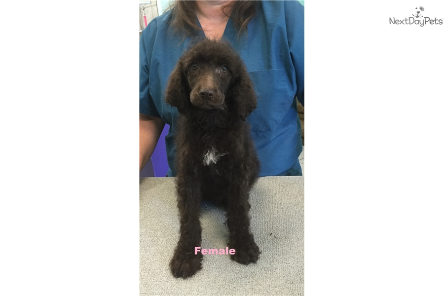 Standard Poodles For Sale In Kansas