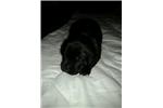 Labrador Retriever for sal