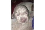 Picture of Beautiful Weimaraner Puppies For Sale!!!
