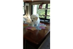 Picture of 3 female AKC  Bichon Frises puppies born May 29 20