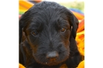 Picture of Beautiful Labradoodle Puppy