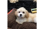 Picture of Bichon Frise/ Poodle