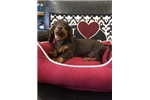 Picture of Dachshund- Miniature