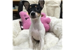 Picture of Fox Terrier, Toy