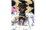Picture of Miniature Pinscher