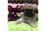 Pekingese | Puppy at 21 weeks of age for sale