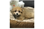 Picture of Pomeranian/ Poodle
