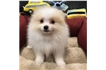 Picture of Pomeranian