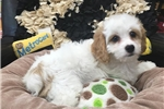 Picture of Miniature Poodle