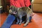 Picture of AKC German Shorthaired Pointer