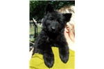 Picture of All east german (DDR) solid black longcoat puppy