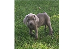 Picture of AKC silver male
