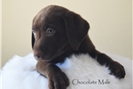 Picture of ### Guinness ### Chocolate Male