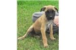 American Bandogge Mastiff for sale