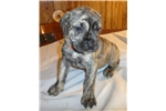 Picture of Beautiful Cane Corso Pups