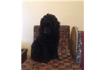 Picture of  Moyen  Male Poodle Puppy