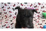 Picture of Scottish Terrier puppy ready to go July 4th, 2016