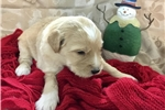 Picture of F2B Shepadoodle puppies